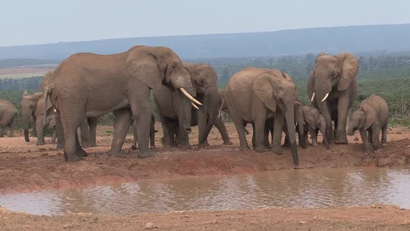 Cover Image for Herd of African Elephants