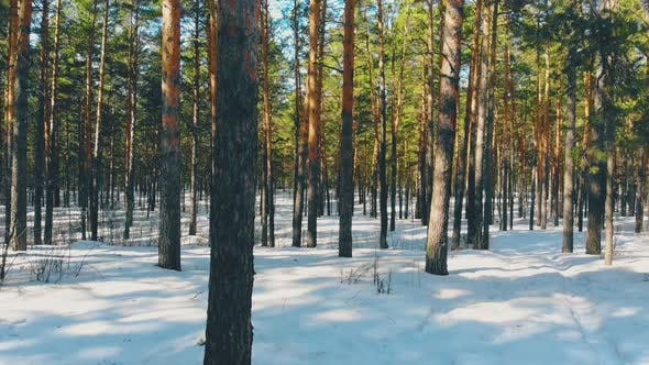 Thumbnail for Gray Thin Coniferous Tree Trunks in Sunlit Winter Forest