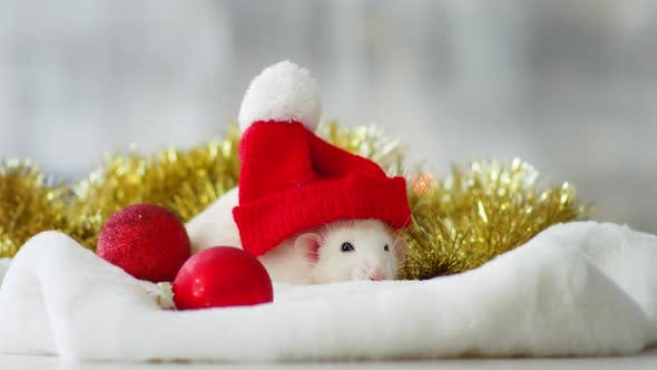 Thumbnail for White Rat with Red Christmas Hat