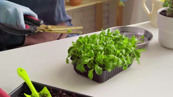 Hands in Gloves Cutting Microgreen Leaves with Scissors Close Up