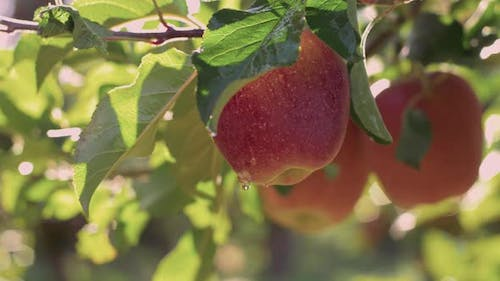 Red Delicious Apple With Water Drops