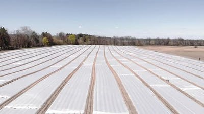 Aerial view of field beds covered by plastic mulch foil. Cultivation. Plants growing under plastic.