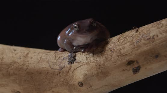 Studio Footage of a Cute Brown Tree Frog on a Tree Branch Wild Animal