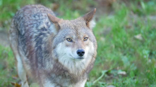 Thumbnail for Coyote Standing On Grass Looking Around In Forest 2