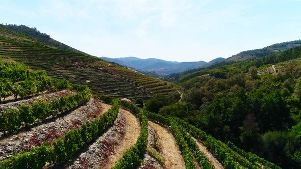Fly Over A Hillside, Over Rows Of Vineyards