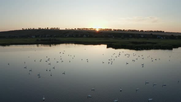 Drone View of Floodplain Lake with Swans at Sunset