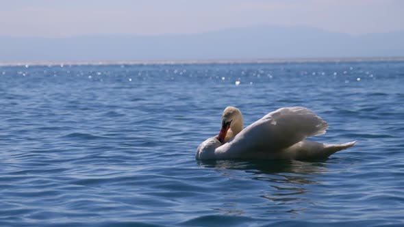 Thumbnail for Large White Swan Swims in a Clear Mountain Lake on Backdrop of the Swiss Alps