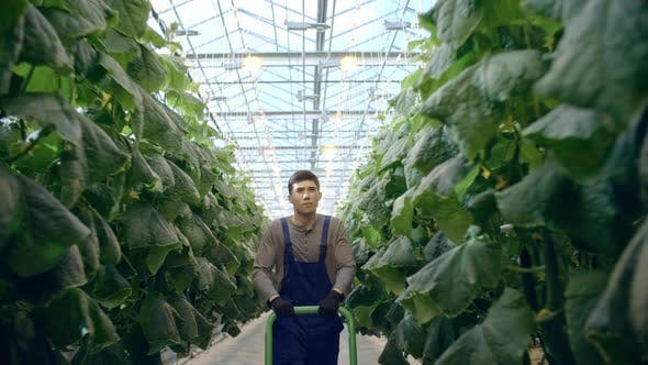 Thumbnail for Male Worker with Cart in Greenhouse