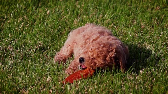 Thumbnail for Cute poodle puppy playing in slow motion