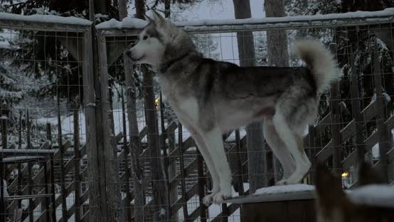 Cover Image for Alarmed Husky Dog in the Cage