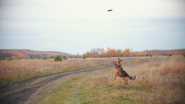 Thumbnail for A Dog Is Jumping and Playing with a Copter