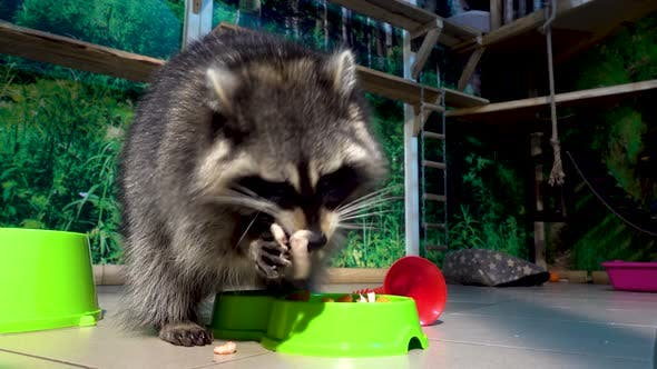 Thumbnail for Funny Raccoon Eating an Apple and Carrot