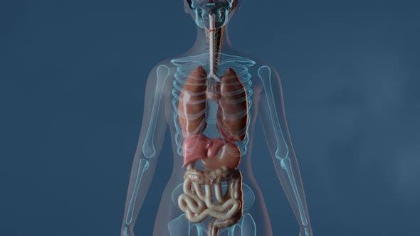 Lungen im weiblichen Körper