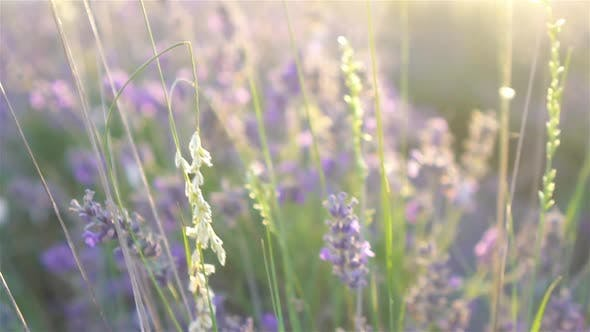 Thumbnail for Sunset Over a Violet Lavender Field Outdoors