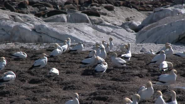 Gannets and Seals