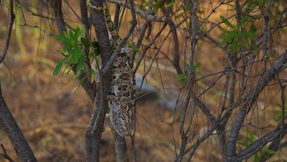 Thumbnail for Chameleon on Tree