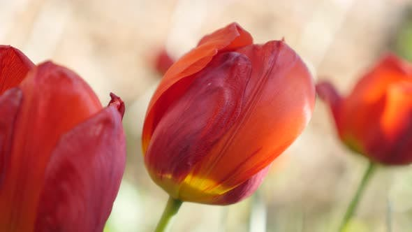 Thumbnail for Cultivated Tulipa gesneriana flower shallow DOF  4K 2160 30fps UltraHD footage - Didier tulip lily p
