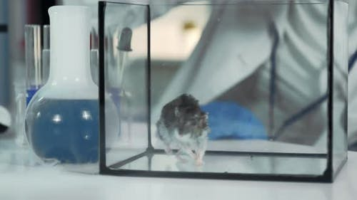 Experiment with Mouse in Modern Chemistry Laboratory: Scientist Giving Organic Material with