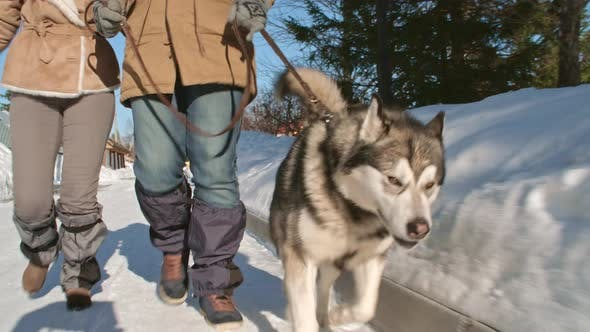 Husky Walking on Lead