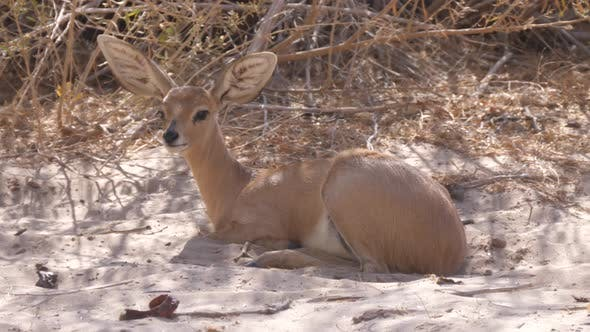 Close up from a steenbok resting