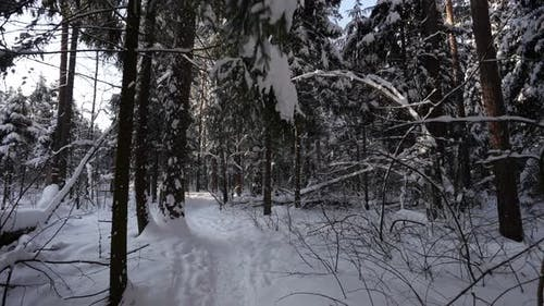 Winter Beauty in Forest Steadycam Shot in Snowy Woodland Slow Motion