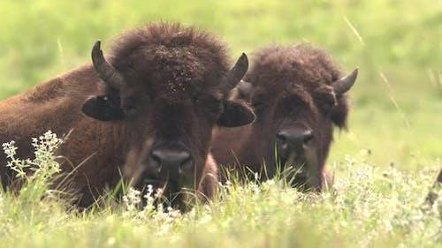 Bison Immature Pair Chewing Ruminating Cud in Summer in South Dakota