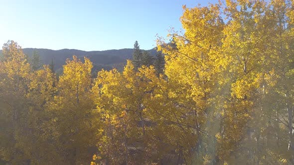Thumbnail for Aspen Tree Grove Stand of Trees in Autumn Light Rays Flare Sun