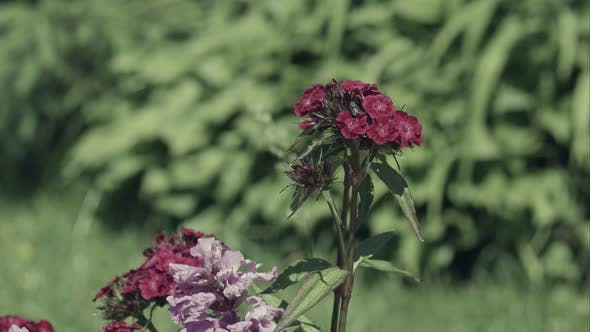 Thumbnail for Fly on Pink Carnations in Garden