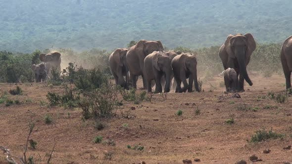 Thumbnail for Herd of African Elephants walking on the savanna