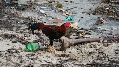 Cock at the polluted beach.