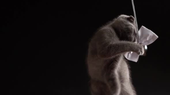 Thumbnail for Small Gray Kitten Scottish Fold Is Playing with a Paper Bow