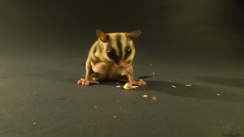 Sugar Glider Eating Against a Black Background in Studio. Close Up