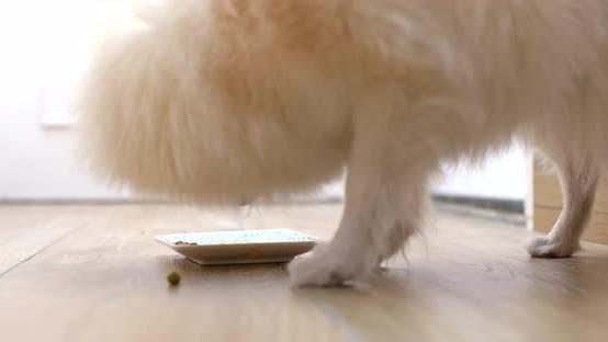 Thumbnail for Feeding Pomeranian dog
