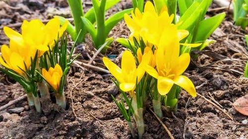 Erste gelbe Krokusblüten Frühling Saffron