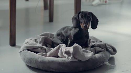 Littlye Black Daschund Puppy Heard Something and Run Away