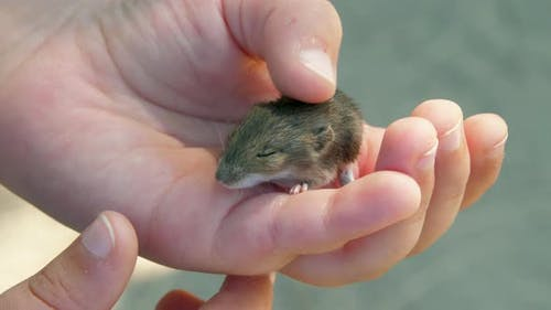 Child Hand Holds Little Rat with Brown Feathers Standing
