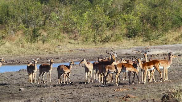 Thumbnail for Common Impala in Kruger National park, South Africa