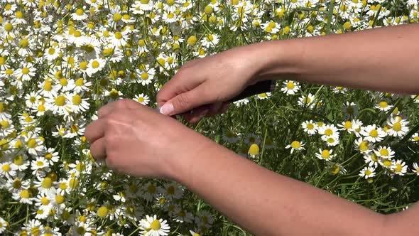 Thumbnail for Kamille oder Anbau eines Heilkräutergartens 8