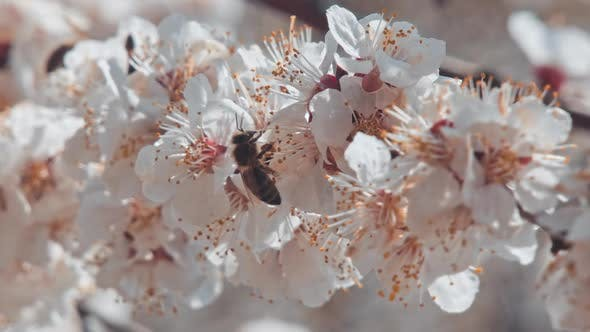 Thumbnail for Bee Flying Around the Almond Blossom