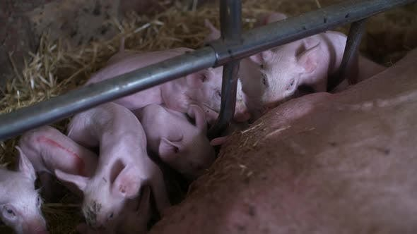 Thumbnail for Piglets Drink Milk. Young Pigs in Agricultural Farm