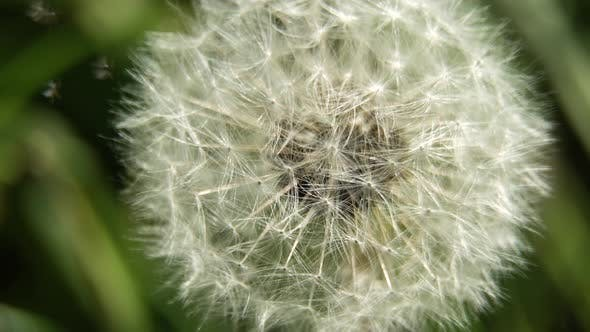 Thumbnail for Dandelion Seed Head.