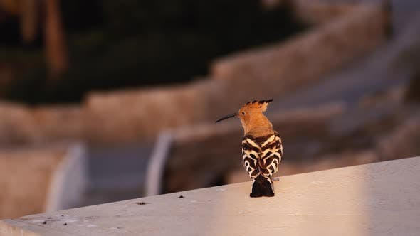 Thumbnail for Common Hoopoe Sits on the Parapet and Flies Away. Motley Bird Takes Off and Flies Away