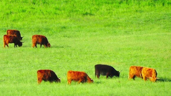 Thumbnail for Red Scottish cows graze in the meadow