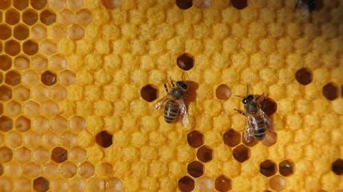 Bienenkolonie. Bienenernte, Bienenlarve. Enge Kommunikation von Bienen, Bienengespräch