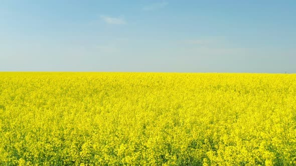Thumbnail for Blooming Rapeseed Field 21