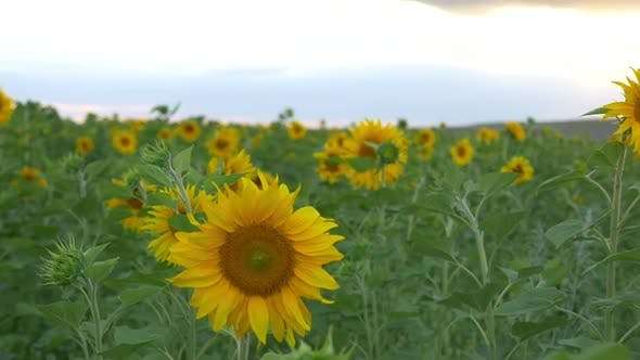 Thumbnail for Field Of Sunflowers 3