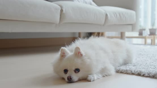 Thumbnail for White Pomeranian Lying on The Floor at Home