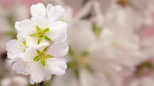 Thumbnail for Cherry Blossom Timelapse 3