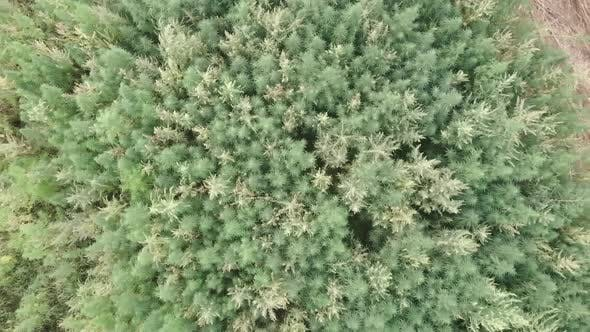 Thumbnail for Top view of beautiful marijuana hemp field. Marijuana cannabis field from bird's eye view