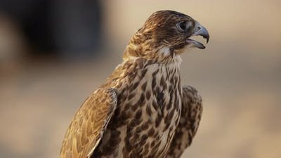 Brown falcon in Abu Dhabi
